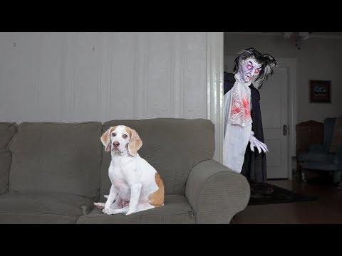 Dog vs. Vampire Prank: Funny Dog Maymo