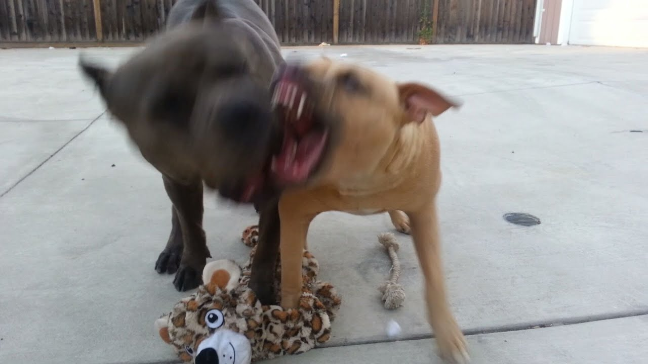 Pitbull Dog Fighting Videos Free Download