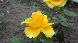 2013 06 18 Цветы на дачном участке