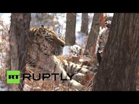 Au lieu de la manger, un tigre russe se lie d'amitié à une courageuse chèvre