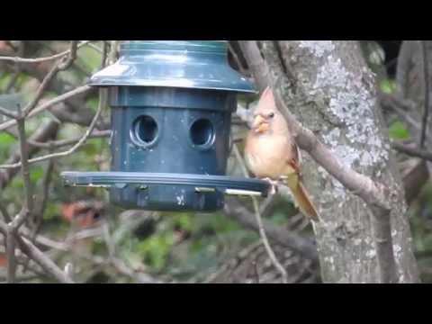 Cardinal rouge femelle - cri