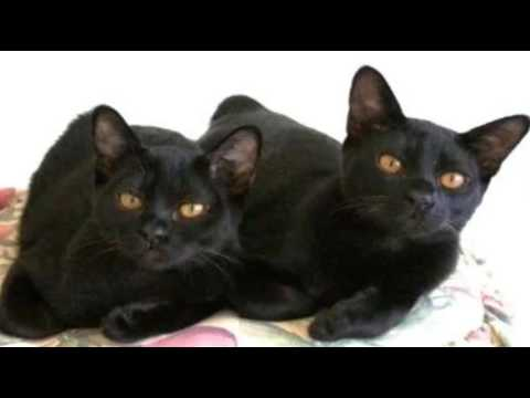 Top 10 Reasons to Choose a Bombay Cat as Your Pet