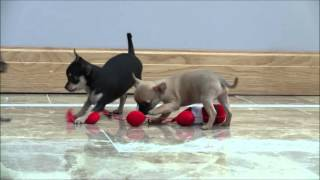 Chihuahua Puppies 4th February 2016