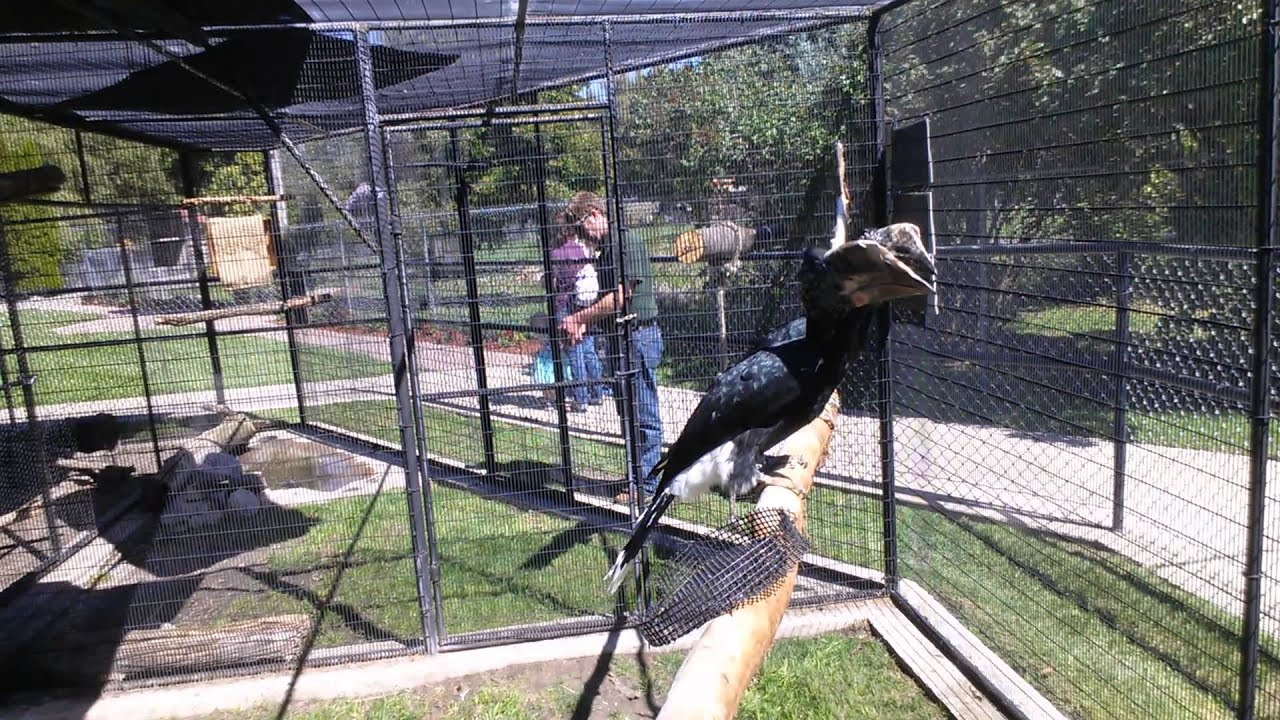 Hornbill training and talking with zoo visitors - YouTube