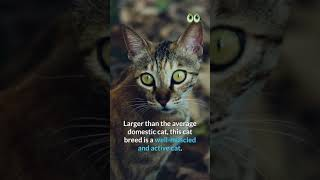 Ocicat Cat Breed Info | Petmoo #Shorts