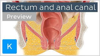 Rectum and anal canal: anatomy and function (preview) - Human Anatomy | Kenhub