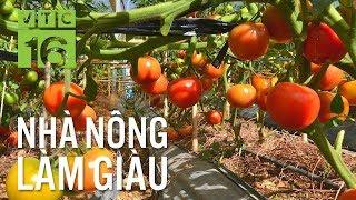 Phát sốt với giống cà chua mới cho 5 tấn quả/sào | VTC16