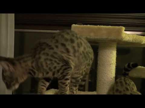 serval sounds
