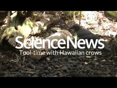 Tool-time with Hawaiian crows | Science News