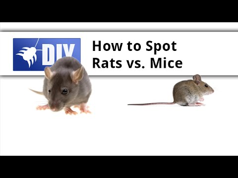 Rat Vs Mouse - Learn The Difference Between Rats And Mice