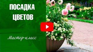 видео Петуния ампельная: посадка и уход, сколько штук сажать в кашпо, фото в саду