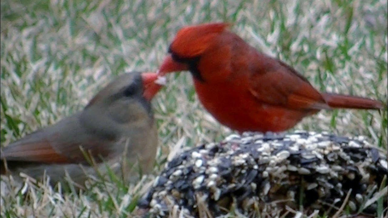 Birds kissing cardinals kissing youtube cardinals kissing youtube buycottarizona