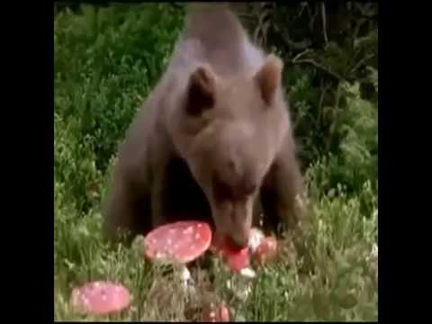 Мишка мухаморишка:) Медведь ест мухоморы !