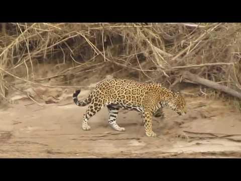 Jaguar Encounter on the Way to Tambopata Research Center, Peruvian Amazon