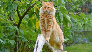 Get to Know the Maine Coon Cat Breed
