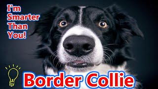 The Border Collie  World's Smartest Dog  Champion Agility Dog  Top Rated Herding Breed!
