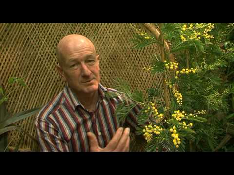 Andrew Mcindoe Talks To Shoot Gardening About Acacia Dealbata