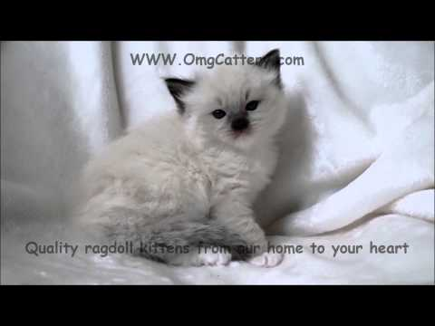 Seal point Mitted ragoll kitten timelapse