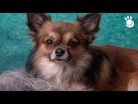 Chihuahua: Origen, Cuidados y Características   Razas de perros