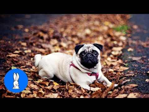 Pugs Are Awesome! #Puglife - CUTEST Compilation