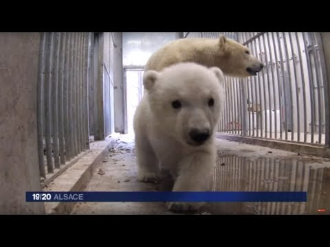 La nounou de Nanuk, l'oursonne polaire née au zoo de Mulhouse
