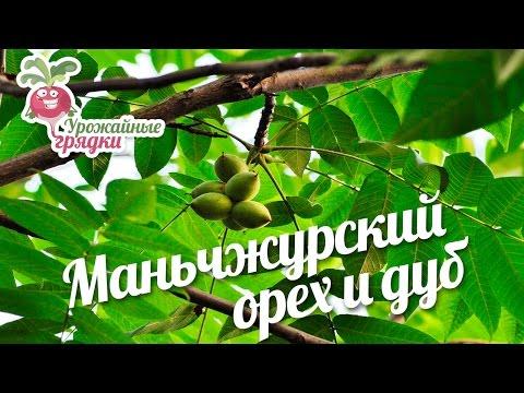 Дуб (дерево): описание. Сколько растет дуб