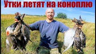 Охота в конопле или как в Сибири утку стреляют Охота на утку 2021 Охота на пшенице Охота 2021