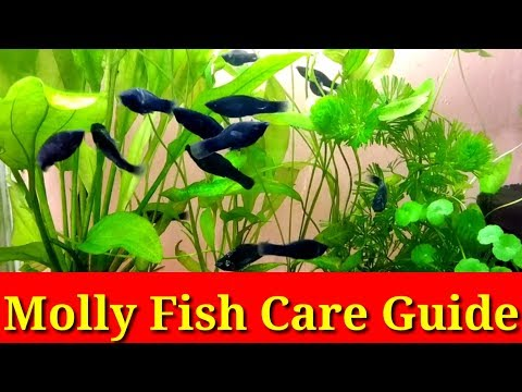 Molly Fish Care Guide