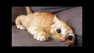 Funny Cats Vines Compilation No. 2 (try not to laugh)