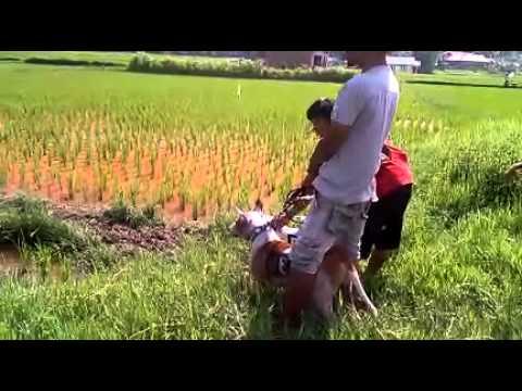 Berburu Bella Porbi Padang