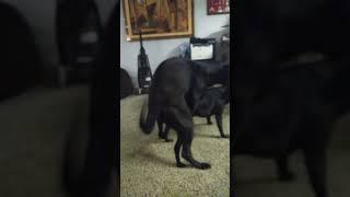 Dog  porn