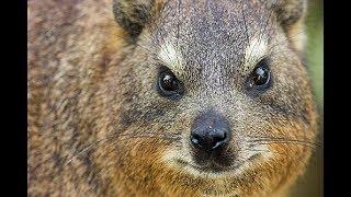 تربية وحماية حيوان الوبر البري ابو دغش - عبيد العوني معلومات مهمة Procavia capensis