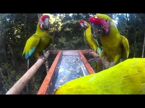 Feeding the Great Green Macaw(Ara Ambigua) [Tha Ara Project/Projecto Ara]