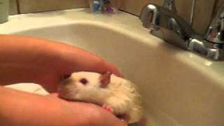 How To Bathe Pet Rats