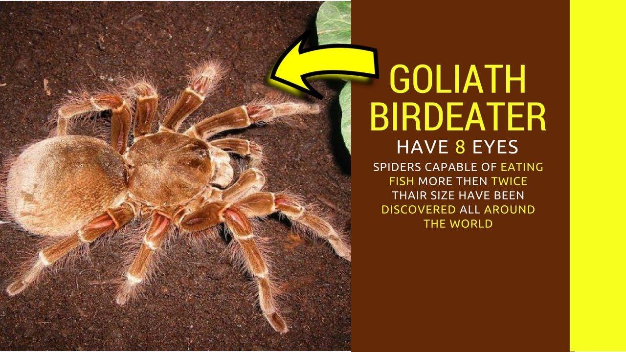 Goliath Birdeater Facts Goliath Bird Eating Spider Catches Bird