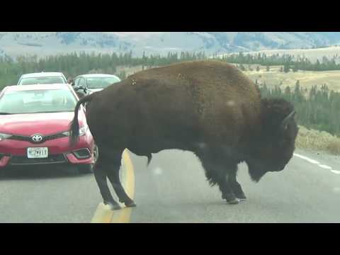 Yellowstone National Park Wyoming -- Wildlife Clips