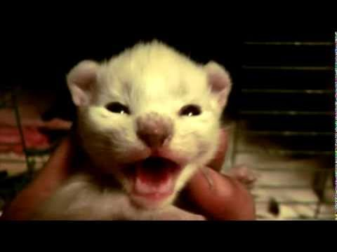 A Rare White Kitten hissing at me - must watch - Cute