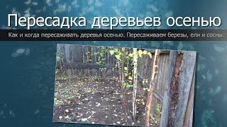 Пересадка деревьев осенью//Пересаживаем березы, ели и сосны//Change of trees in the fall