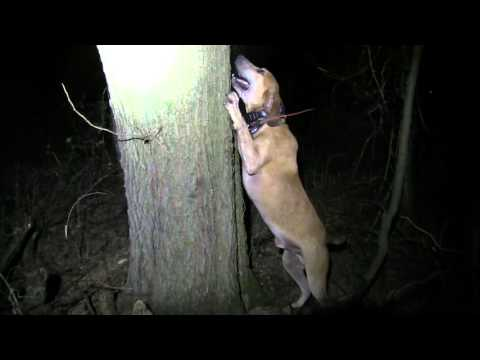 Coon Hunting With PKC SILVER CH UKC GRNTCH Timber Rattlin' Swag