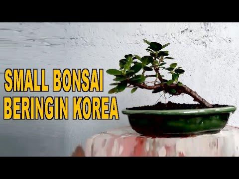 Small Bonsai Beringin Korea