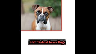 Facts about boxer dog