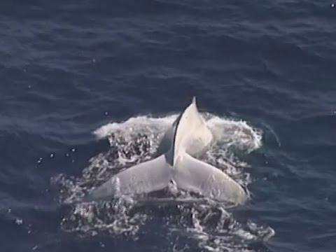 Seltener Weißer Wal vor Australien gesichtet: Handelt es sich um Migaloo?