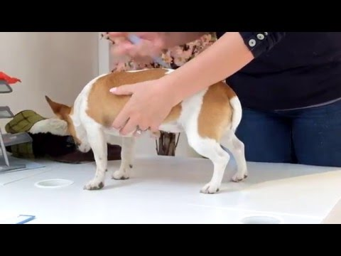 How To Measure Your Dog For A Dog Coat Tutorial Jack Russell