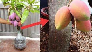 Porta injertos | Metodo multiple para tallos grandes - Mango