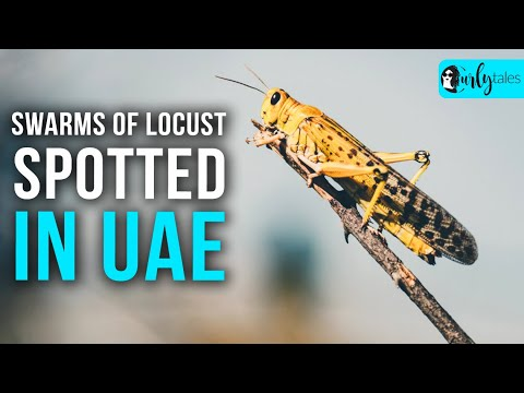 Swarms Of Locust Spotted In UAE | Curly Tales