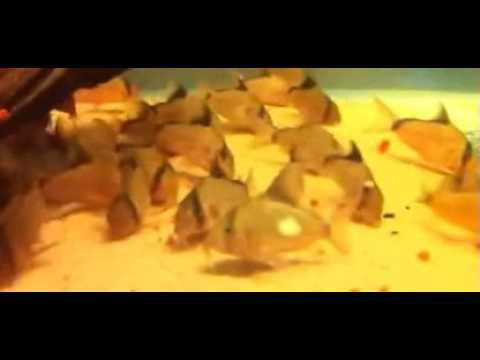 Коридорас (Corydoras) крапчатый сомик содержание, уход, размножение