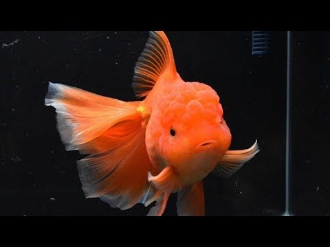 Why Did My Goldfish Die So Fast? (Beginner Care)