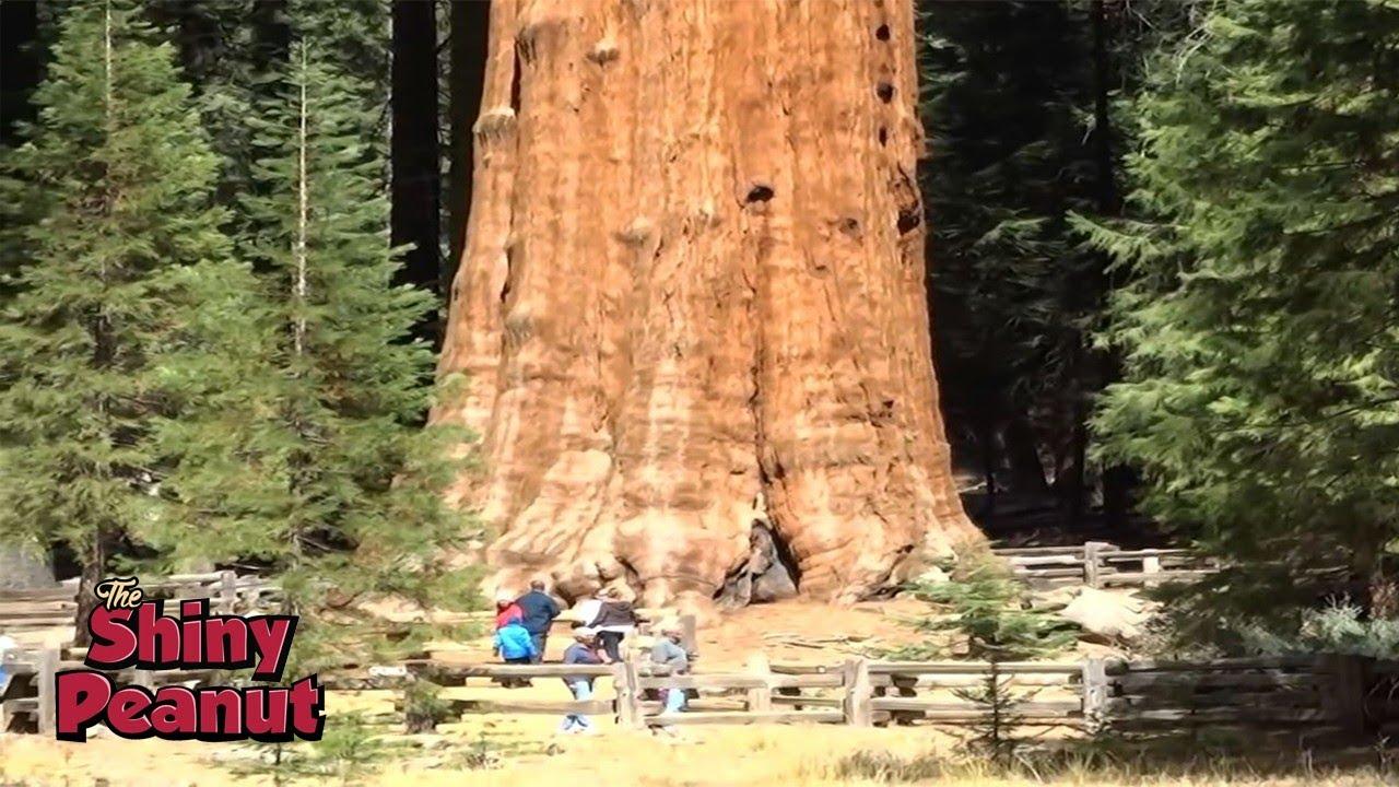 Download Inilah Pohon Raksasa Terbesar di Bumi yang Bikin Takjub