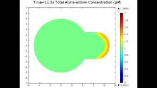 Simulation of Alpha-actinin Migration During Cell Deformation