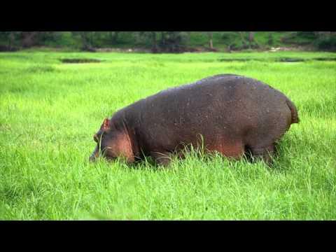 Hippo Explosive Diarrhea Hippo Shart - YouTube